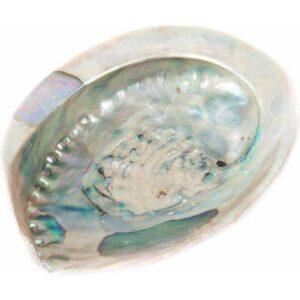 Abalone schelp XL
